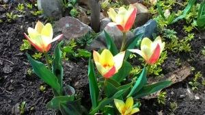 tulipgdoup