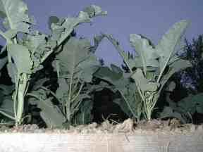 broccoliseedlings