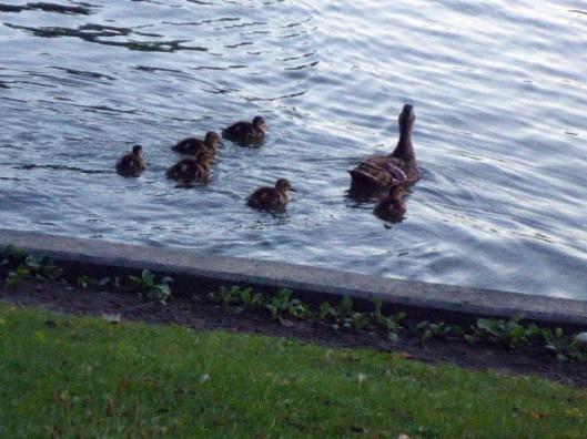 duckmammaandbabies