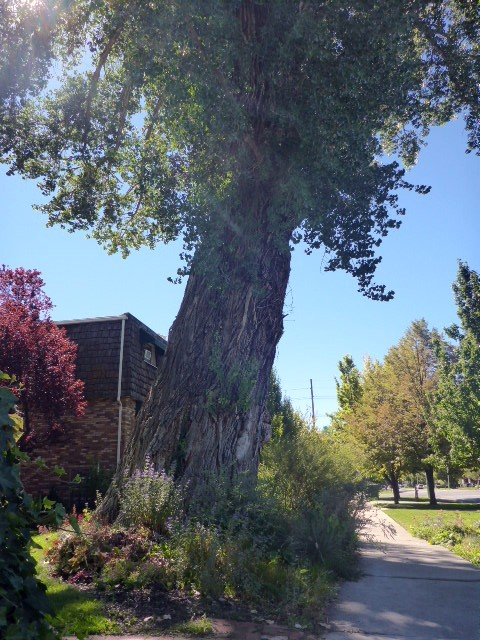 huge-tree
