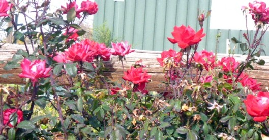 late-october-roses
