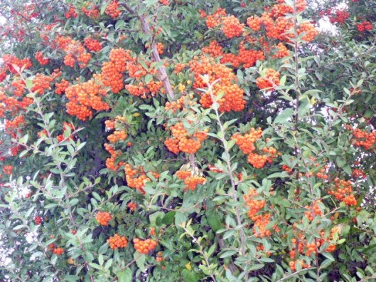 orange-berries