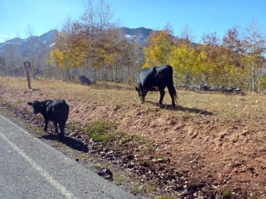 road-cows