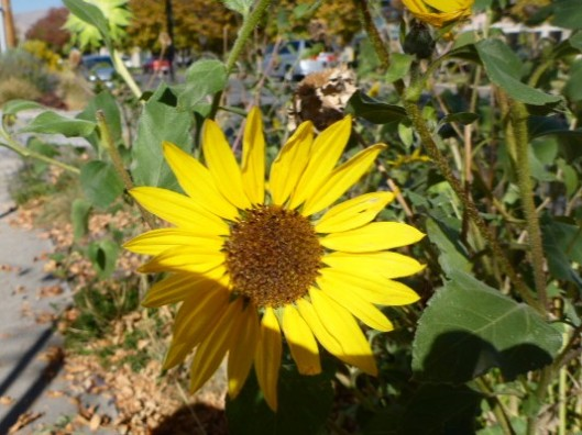 sidewalk-sunflower