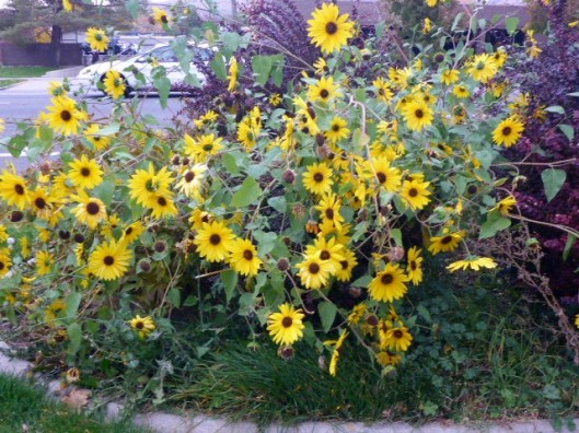 sunflower-bed