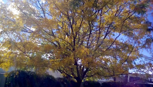 yellow-treetop