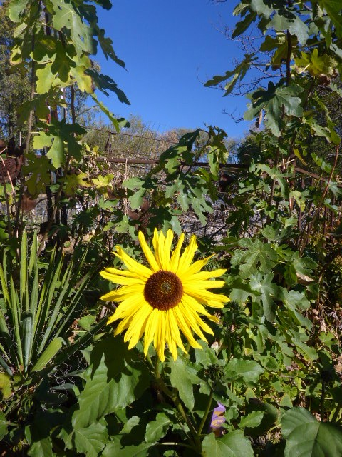 cheerful-sunflower