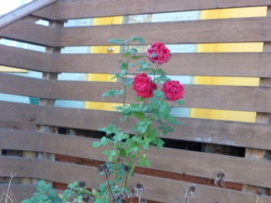 fenced-roses