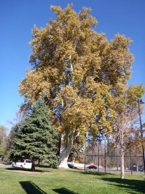 giant-sycamore