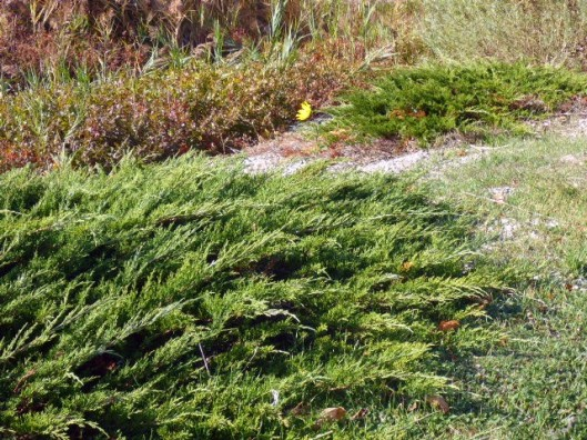groundcover