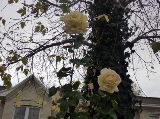 sky-roses