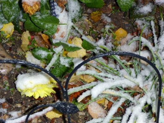 snow-on-dahlia