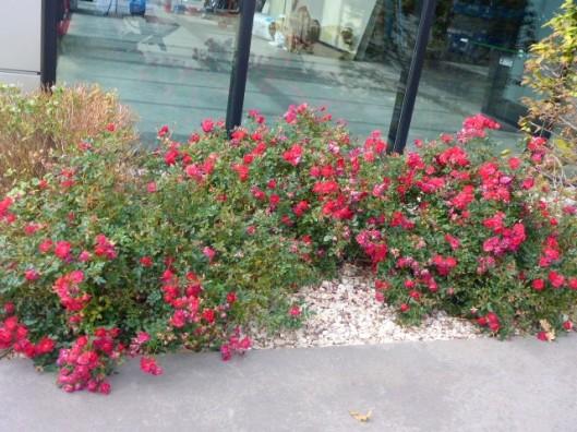 trolley-roses