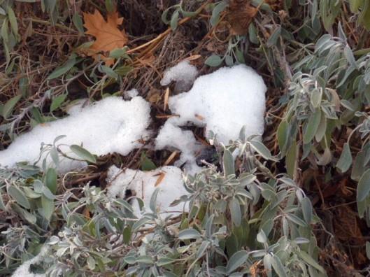 sage-snow